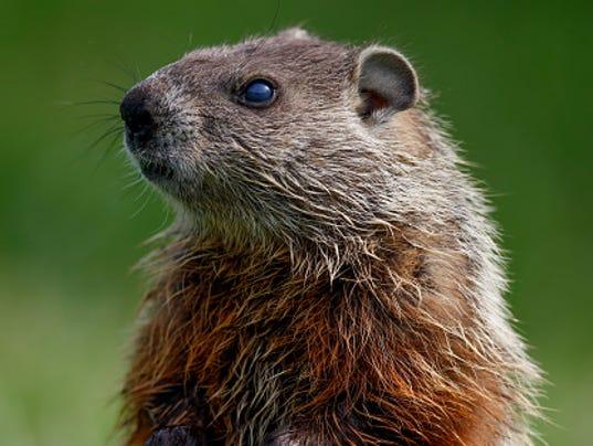STOCKIMAGE-Groundhog
