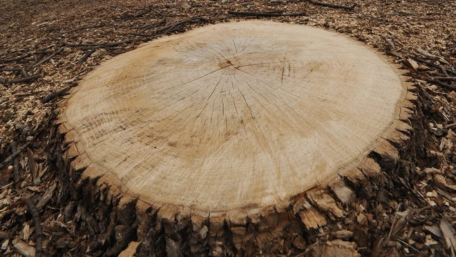 The stump of a recently cut down Ash tree in Lallier park in Fond du Lac. Thursday, April 10, 2014.