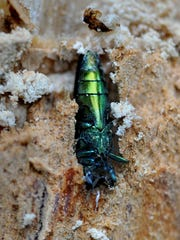 Emerald Ash Borer tree New Paltz
