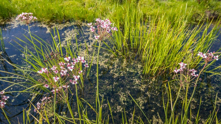 An aquatic weed capable of clogging irrigation canals