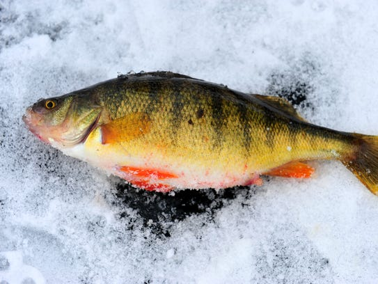 A Holter Lake perch caught Jan. 17.