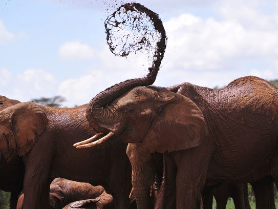 An African elephant throws mud onto himself at the