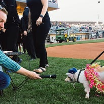 MPR reporter Peter Cox works hard at the St. Paul Saints home opener in St. Paul on Thursday, May 21, 2015. (Ben Garvin / KARE)
