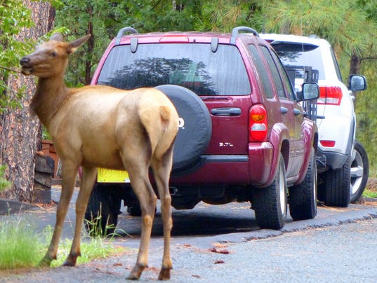 -elk-eating-by-cars