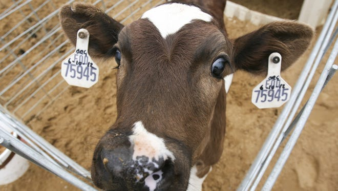 A curious young dairy calf is one of the animals visitors can see on tours at Fair Oaks Farms Thursday, July 26 2012.