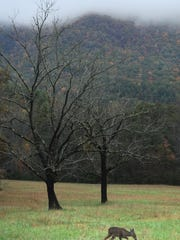 A deer grazes along the Cades Cove Loop Road in the