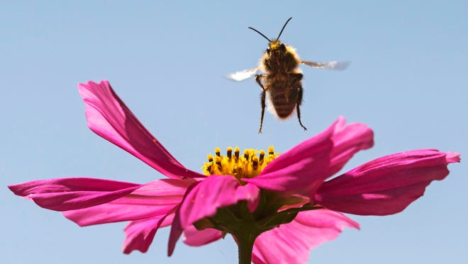 A bumble-bee lands on a flower in Erfurt, central Germany, Tuesday, June 7, 2016.