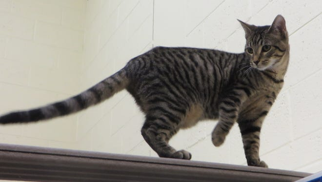 Yes, I'm the cute one up there on the catwalk. Ask for Cookie!