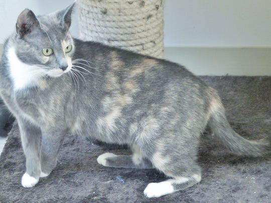 Peaches is a 2-year-old dilute tortie girl who has a unique coat and expressive green eyes. This sweet lady will make someone a wonderful companion.