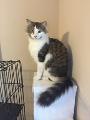 This feline is up for adoption through the Rutherford
