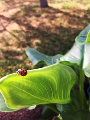 A ladybug climbs the leaf of a calla lily ready to