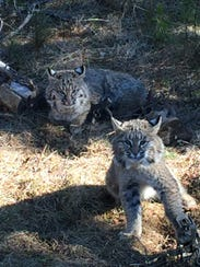 Two young bobcats caught in traps by Mark Mumm were