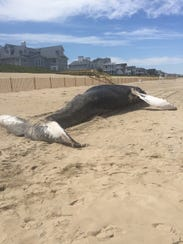 The dead whale that was found on Bethany Beach Friday