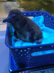 On day 14, a blue penguin chick reflects on all it