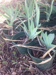 Iris plants ready for the garden will be sold during