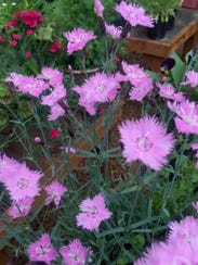 """Measure for Measure"" is talking about Dianthus pinks"