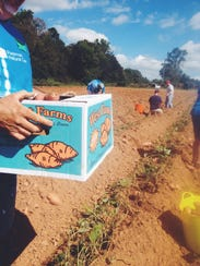 Sweet potatoes are harvested by volunteers at West