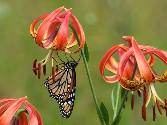 Fire lily or Sandhills lily grows in the Carolinas