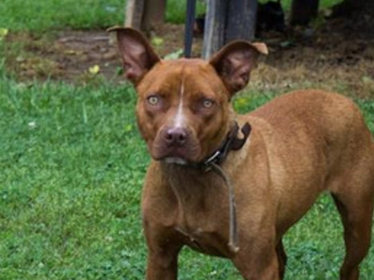 Baby Girl is just over a year old and is a medium sized, brown, female terrier/pit bull mix. She is very sweet tempered dog and has been spayed, chipped, vetted, and vaccinated. She is ready to share her love with a forever family that is looking for that special dog. Call 423-442-1015 or check out all available pets on our website at www.friendsofanimalsmc.org. All animals adopted from Monroe County Animal Shelter are spayed or neutered, have age appropriate vaccinations and testing, and are microchipped (with registration).