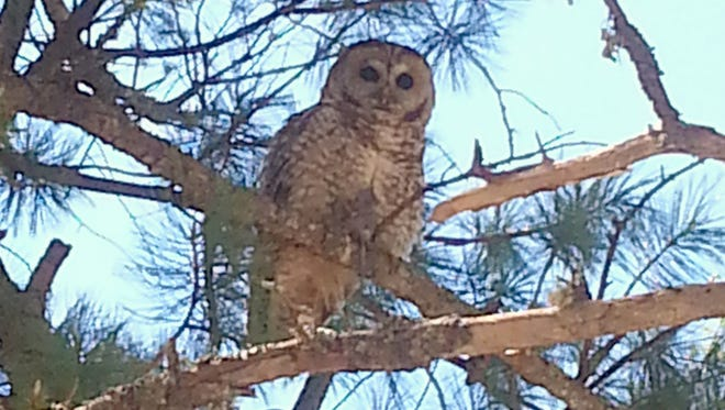 A Mexican Spotted Owl sits perched on a tree branch in the Lincoln National Forest looking for prey.