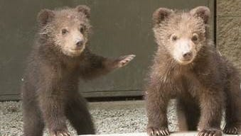 Visitors to Maple Fall Fest are invited to name the bear cubs that will be the newest exhibit at Wildwood Zoo.