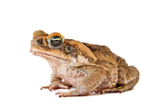 Cane toad (Bufo marinus)