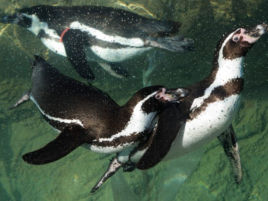 Humboldt penguins get their day Saturday at the Milwaukee County Zoo.