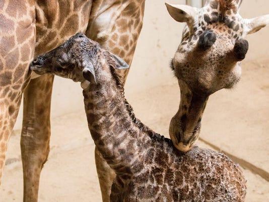 Giraffe 2.jpeg