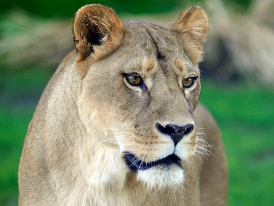 A female lion at the Detroit Zoo (file photo).