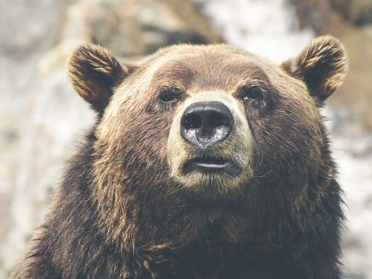 635713571461821528-brown-bear-423202-1920