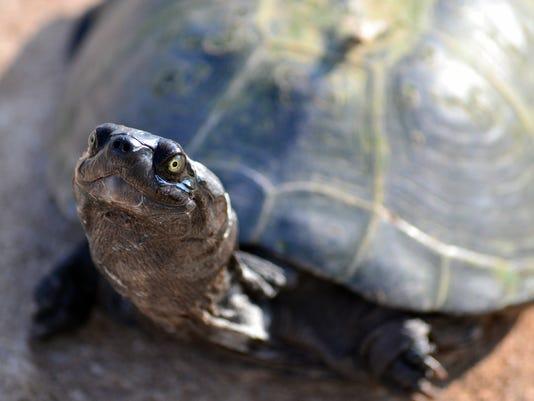 WSF turtle