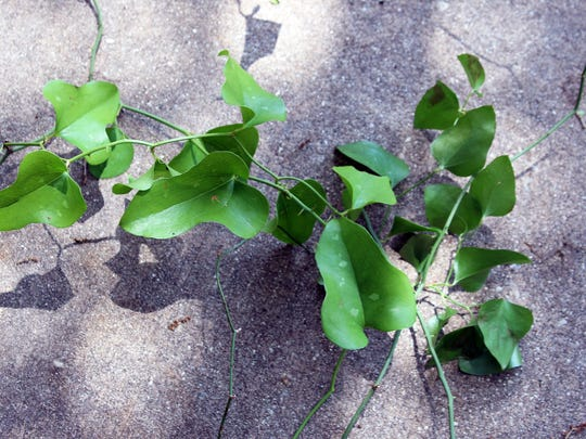 Smilax briars are most easily eliminated by digging out the vines and roots with a sharpshooter spade.
