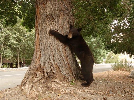 636675200816548740-Black-bear1-By-Kyle-Christensen.JPG