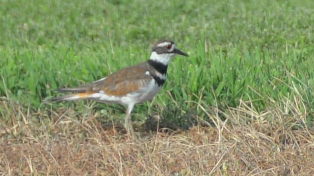 Curt and Ginnie are calling this bird a killdeer. The killdeer are quite entertaining on the Empty Nest Farm.