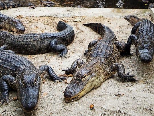 American alligators.