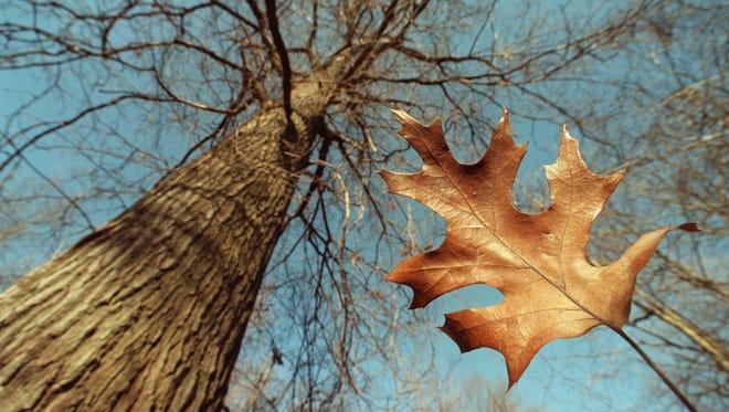 Oak tree and leaf.