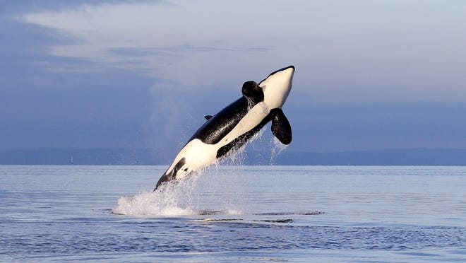 An endangered female orca leaps from the water while breaching off Seattle last month.