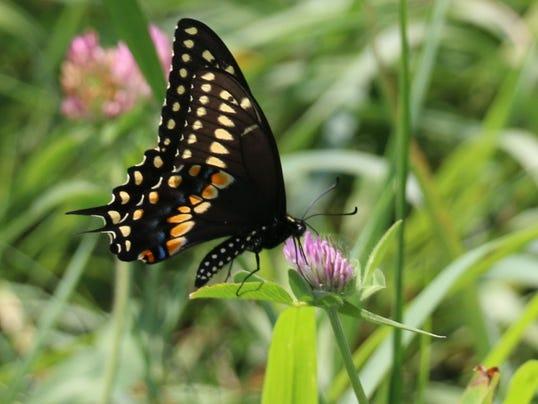 635787804826030222-Butterfly-in-Meadow-300-dpi
