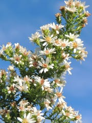 Asters in sparkling white glimmer in gardens, prairies and parks throughout our area late into the fall season.