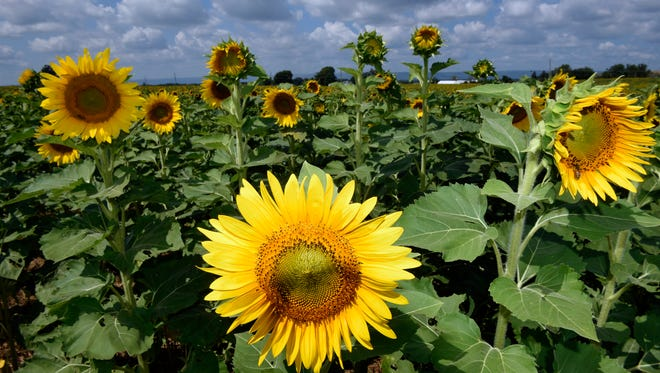The Field of Sunflowers is in bloom for visitors to take photos on Monday, August 29, 2016 at the corner of Helman Road and New Franklin Road, New Franklin. The sunflowers have become a tourist attraction as folks come from different parts of the region to observe and take photographs.