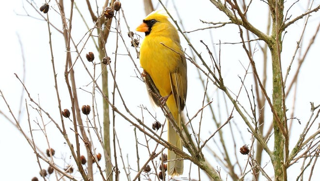 A yellow northern cardinal appeared in Alabaster, Ala. on Feb. 17, 2018.