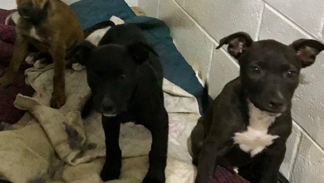 Three puppies were found abandoned in Sanilac County.