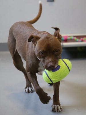 Halo was brought to Dutchess, where she found her forever home, from the Atlanta metro area, she was picked up as a stray.