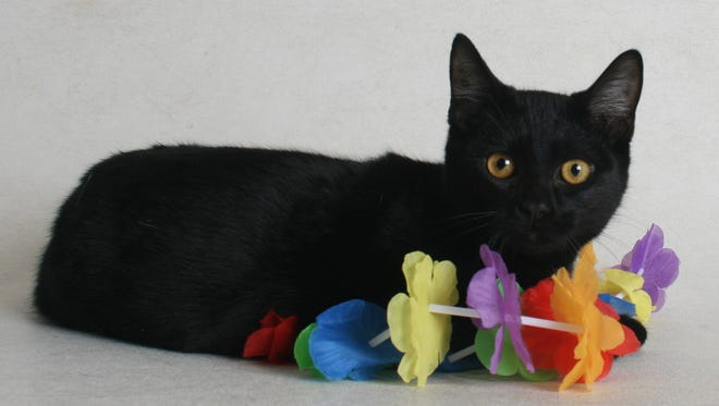 Monica is a 6-month-old, black, female domestic short-hair mix. All feline and canine adoptions include spaying or neutering, vaccinations and a microchip. Visit Haven Humane Society, 7449 Eastside Road, Redding. Call 241-1653. Go to www.havenhumane.net.