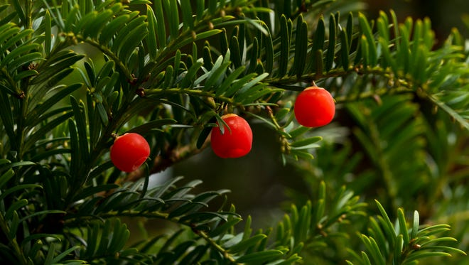Berries on a Yew tree.