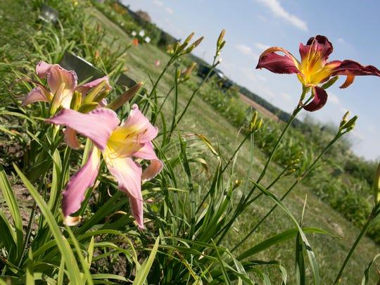 Daylilies populate the yard of Wendy Schwall near Galion.