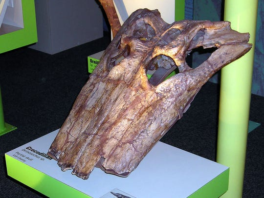 This partial skull of a deinosuchus was found in a