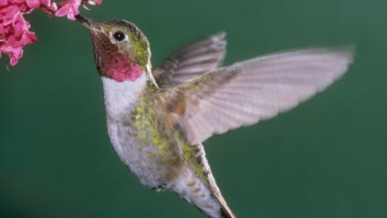 Male broadtail hummingbird feeding on nectar of coral bells