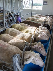 Milking time at the Spooner Agricultural Research Station.