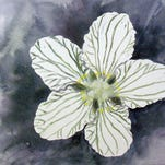 The intricate patterns on the petals of grass-of-Parnassus form an overall design that attracts bees and other insects.